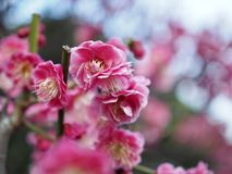 Japanese Plum Ume in Bloom royalty free stock photo