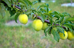 Japanese plums on branch Stock Images