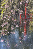 Japanese Pond Cherry Blossoms Stock Images
