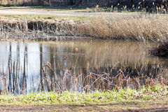 Japanese pond and dry pampas grasses Stock Image