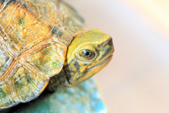 Japanese pond turtle Royalty Free Stock Images