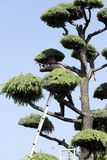 Japanese professional gardener pruning a cedar Royalty Free Stock Images