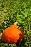Japanese pumpkin. Hokkaido in the garden Stock Image