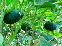 Japanese pumpkin. Trees and vines of Japanese pumpkin Be maintained until it is harvested Stock Photos
