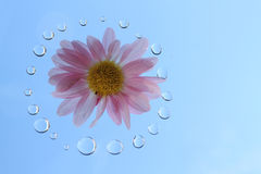 Japanese purple chrysanthemum and dew drops in the blue sky Stock Photography