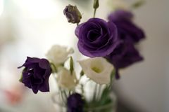 Japanese Purple And White Roses. On Blurred Background stock images