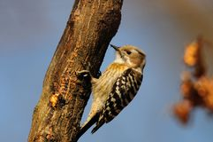 Japanese Pygmy Woodpecker Royalty Free Stock Images