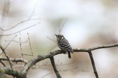 Japanese pygmy woodpecker on the branch of tree Stock Photography
