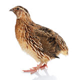 Japanese Quail Stock Photo