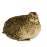 Japanese Quail - Coturnix Japonica Royalty Free Stock Images