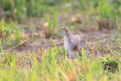 Japanese Quail Stock Images