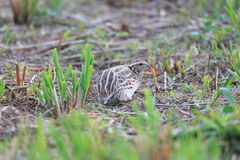 Japanese Quail Royalty Free Stock Image