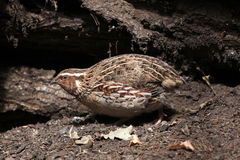 Japanese quail (Coturnix japonica). Royalty Free Stock Photo