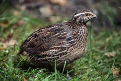 Japanese quail (Coturnix japonica). Royalty Free Stock Images
