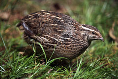 Japanese quail (Coturnix japonica). Stock Photography