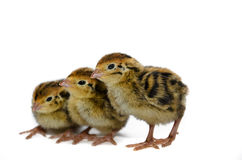 Japanese quail species Stock Photo