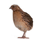 Japanese quail Royalty Free Stock Images