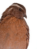 Japanese quail Royalty Free Stock Photography