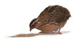 Japanese quail Stock Image
