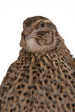 Japanese quail Stock Photos