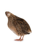 Japanese quail Royalty Free Stock Photos
