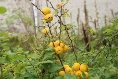 Japanese quince in autumn garden. Stock Photos