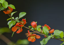 Japanese quince in bloom background. Red flower blossom in the park at spring Royalty Free Stock Photography