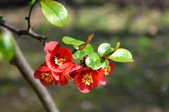 Japanese quince in blossom Royalty Free Stock Photos