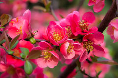 Japanese quince in blossom spring flowers. Chaenomeles high classification malinae,Rosaceae, native to Japan Royalty Free Stock Image