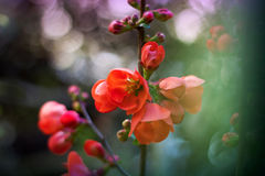 Japanese quince Stock Photos