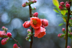 Japanese quince Royalty Free Stock Image