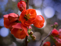 Japanese quince. Blossoming branch of Japanese quince stock images