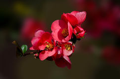 Japanese quince blossoming branch. Stock Image