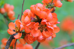 Japanese quince Royalty Free Stock Photo