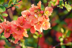 Japanese quince branch Stock Photography