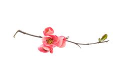 Japanese quince branch blossom isolated on white Royalty Free Stock Photography