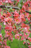 Japanese quince branch - blossoming Stock Image