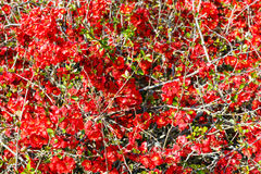 Japanese Quince branch Stock Photo