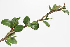 Japanese quince branch with buds. And fresh leaves (Chaenomeles Royalty Free Stock Images