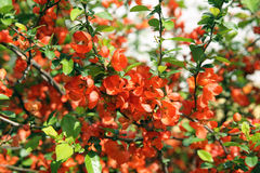 Japanese Quince branch, low DOF Stock Photo