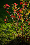 Japanese quince bush Royalty Free Stock Photo