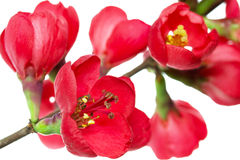 Japanese quince (Chaenomeles) Stock Photos