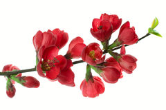 Japanese quince (Chaenomeles) Stock Photo