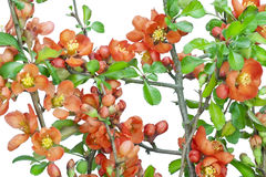 Japanese quince (Chaenomeles) background Stock Photos