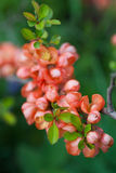 Japanese quince. Stock Photo