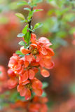 Japanese Quince. Royalty Free Stock Photography