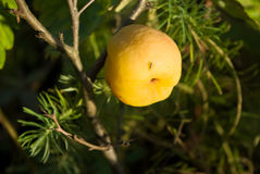 Japanese quince (Chaenomeles) fruits. Against natural backgrounds Royalty Free Stock Photos