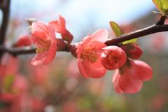 Japanese Quince, Chaenomeles japonica, in bloom. Pink flowers on the branch. stock photography