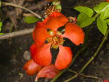 Japanese quince, Chaenomeles japonica, flower on branch macro, selective focus, shallow DOF. Japanese quince Chaenomeles japonica flower on branch macro Royalty Free Stock Photos