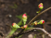 Japanese quince, Chaenomeles japonica, flower buds on branch macro, selective focus, shallow DOF.  Royalty Free Stock Image